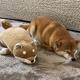 柴犬がぬいぐるみと一緒に寝た結果→「どっちが犬でどっちがぬいぐるみ?」「抱き枕にしたい。両方共」