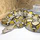 逃げ出したアミメニシキヘビ(飼い主の男性提供)