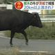 水戸市で「牛が河川敷を歩いている」との通報相次ぐ 5頭を捕獲