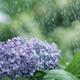 「五月雨」や「五月雨式」は、その意味を知ると心を和ませる効果があることが分かり、使わないともったいないものです。そこで使い方や例文を、漢字の読み方・ふりがな、意味、類義語、俳句とともに解説します。