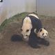 同居したジャイアントパンダのリーリー(上)とシンシン=6日午後、東京都台東区(東京動物園協会提供)