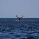 圧巻の映像!ザトウクジラの巨大な群れが集団で食事
