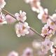 梅は春の喜びをあらわす花〜平安前後の和歌に見られる梅〜