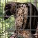 高級コーヒーのために劣悪環境で飼育されているジャコウネコ(画像は『Moving Animals-Official site「Tell Travel Companies to Stop Promoting Cruel Civet Coffee Trade」(Credit:Moving Animals)』のスクリーンショット)