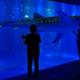 大きな体のジンベエザメが目の前を優雅に泳いでいく。周りの小さい魚たちにも注目を/画像提供:のとじま水族館