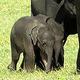 スリランカ・コロンボ北東のミネリヤ国立公園で撮影された赤ちゃんゾウ2頭。スミス・ピラピティヤ氏提供(2020年7月6日撮影)。(c)AFP PHOTO / COURTESY OF SUMITH PILAPITIYA