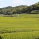 山間の丘陵地での茶栽培は戦前からはじまる