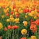 館山ファミリーパークで咲き誇るポピー。5月末の閉園まで楽しむことができる(同園提供)