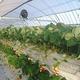 上下2段の高設栽培なので、立ったまま摘み取りができる/写真は主催者提供