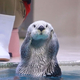 「水族館の人気者」ラッコが日本で4頭だけに 高齢化で繁殖も難しい状態