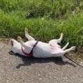 死んだように日向ぼっこする犬02