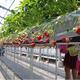 高設栽培で安心安全ないちごを栽培する大住いちご園/写真は主催者提供