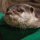 米ジョージア州の水族館が飼育するコツメカワウソが新型コロナウイルスの検査で陽性に/Georgia Aquarium