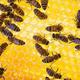 ハチにも効く「アメとムチ」。間違いを罰されたハチは数え上手に