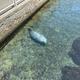 水中で眠るアザラシに「大丈夫なの!?」水族館担当者が疑問に回答