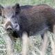 野生の子イノシシ。オーストリアの森で(2008年10月11日撮影、資料写真)。(c)AFP PHOTO/DIETER NAGL