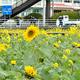ヒマワリが菜の花に交じって咲いている=2020年1月7日、南伊豆町日野