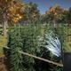 大麻農家シム『Weed Farmer Simulator』が2月28日に配信開始。一人称視点で体験できるリアルな大麻農家の姿