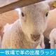 マザー牧場でヒツジの出産ラッシュ 千葉・富津市