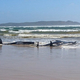豪タスマニアで打ち上げられたクジラ、470頭に 別の群れ発見