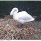 6個あった卵が潰されて1個だけに(画像は『Manchester Evening News 2020年6月20日付「Swan whose nest was smashed up by vandals with bricks 'dies from a broken heart'」(Image: UGC)』のスクリーンショット)