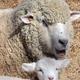 お母さん羊と一緒に日なたぼっこする子羊=奈良県山添村で、平川義之撮影