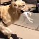 ゴールデンレトリバーが迷子の子猫を拾ってくる01