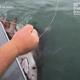 まさに死闘!米サンフランシスコ湾で巨大なホホジロザメがヒット【映像】