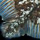 アフリカ沖のシーラカンスのうろこ。精密に調べた結果、100歳近くまで生きる可能性があると分かった(フランス海洋開発研究所、仏国立自然史博物館提供)