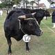 日本3大和牛に数えられる近江牛。写真は2019年の審査会の様子=滋賀県日野町で、蓮見新也撮影