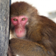 お猿のロデオボーイ・みわ、バナナで無事確保!