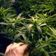 「大麻合法化2.0」にカナダが突入、大麻入り飲食物など解禁で2000億円超の経済効果も