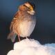 鳥の歌が北米大陸3千キロを横断して流行「2音で終わる歌」が席巻