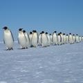 列になって歩くエンペラーペンギン