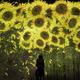 """チームラボ""""約10万本のひまわり""""が咲き誇る新作展示、お台場・チームラボボーダレスで"""