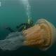 人間サイズの巨大クラゲが英国沖で発見される