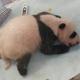 秦嶺で今年初めて誕生の赤ちゃんパンダ、生後1か月に