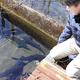 エサを工夫し、全雌化に成功したチョウザメ(新宮市の近畿大水産研究所新宮実験場で)