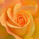 オレンジのバラは「絆」。友情を伝えたい時に贈る花