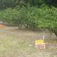 盗難に遭ったミカン園。収穫済みだった一部を除き、ほぼ全量が被害に遭った(三重県御浜町で=御浜町役場提供)