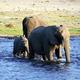 子象を間に挟みながら川を渡る象=2019年9月、ボツワナ北部、石原孝撮影