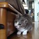 【トレビアン動画】だるまさんが転んだをする猫の動画 まさかの第2弾! 可愛すぎると話題