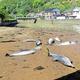 河口に打ち上げられた複数のイルカ=沼津市西浦木負、沼津市提供