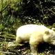 世界初!全身真っ白のジャイアントパンダが発見される