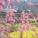 満開の花々の間を駆け抜ける高速鉄道 貴州省