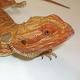 岐阜県の住宅庭で体長45cmのトカゲを捕獲 ペットが逃げ出したか