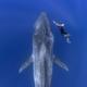 美し過ぎる!ダイバーが巨大なシロナガスクジラと泳いでいる瞬間を捉えた写真が話題に