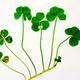幸福を呼ぶとされる四つ葉のクローバーが一つの茎に五つ連なっていた=羽田孝利さん提供