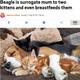 2匹の子ネコのママになったビーグル犬(画像は『Metro 2019年9月17日付「Beagle is surrogate mum to two kittens and even breastfeeds them」(Picture: Simon Jacobs/ Caters News)』のスクリーンショット)