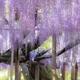 春に見ごろを迎える藤の花(画像はイメージ)